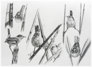 Little Acrobats: A Study of Marsh Wrens